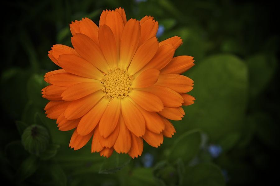 Orange Flower Photograph - Intense Orange by Terry Horstman