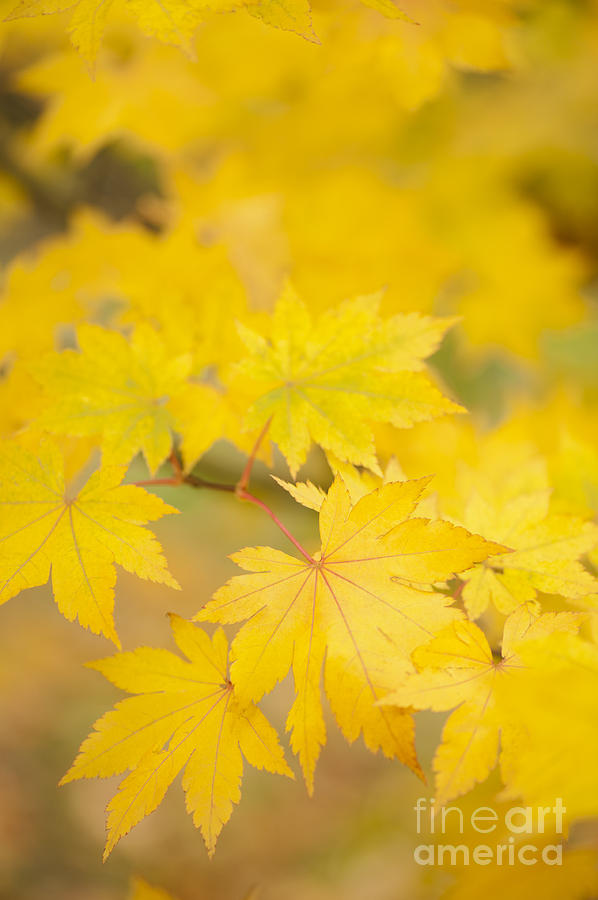 Acer Photograph - Intensely Yellow by Anne Gilbert