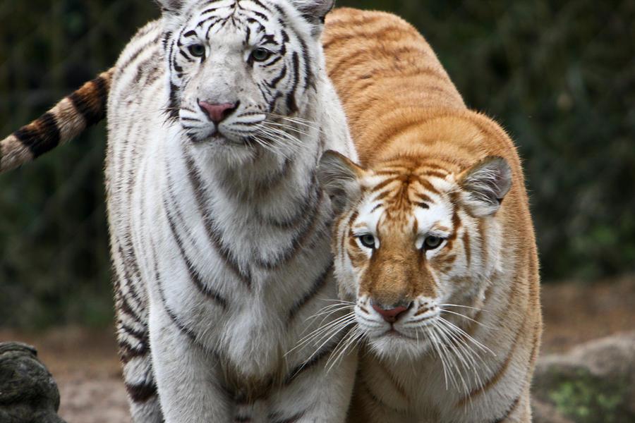 Tiger Photograph - Intent Tigers by Douglas Barnett