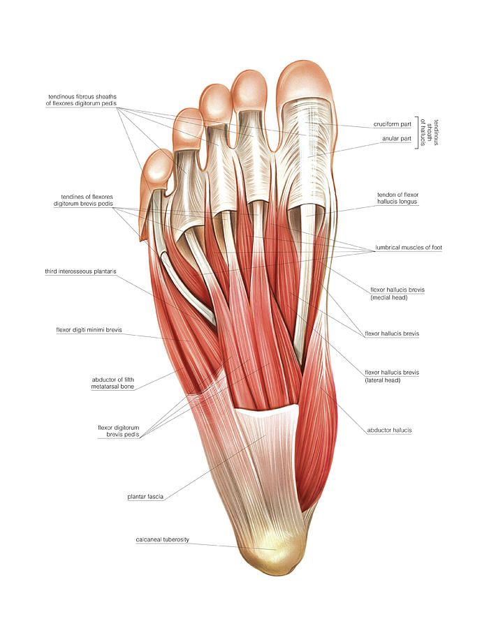 Interosseous Muscles Of The Foot Photograph By Asklepios Medical Atlas