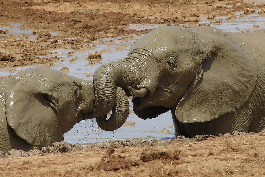 Elephant Photograph - Intertwined by Ramona Johnston