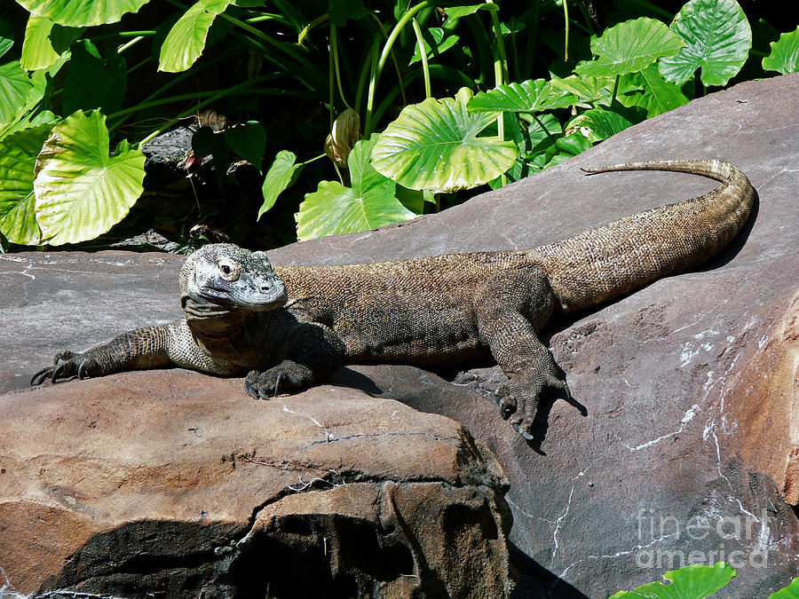 Reptile Photograph - Interupted Sunbathing by Kevin Fortier