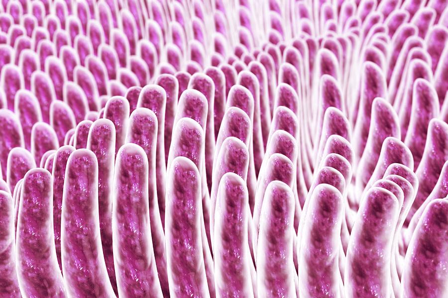 Intestinal Villi Photograph By Kateryna Konscience Photo Library