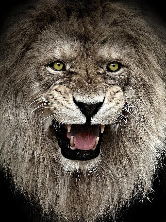 Lion Photograph - Intimidation by Catalin Buzlea