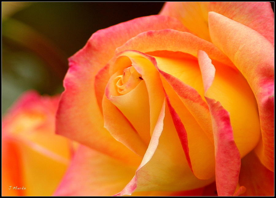 Yellow Rose Photograph - Invader by John Mierke