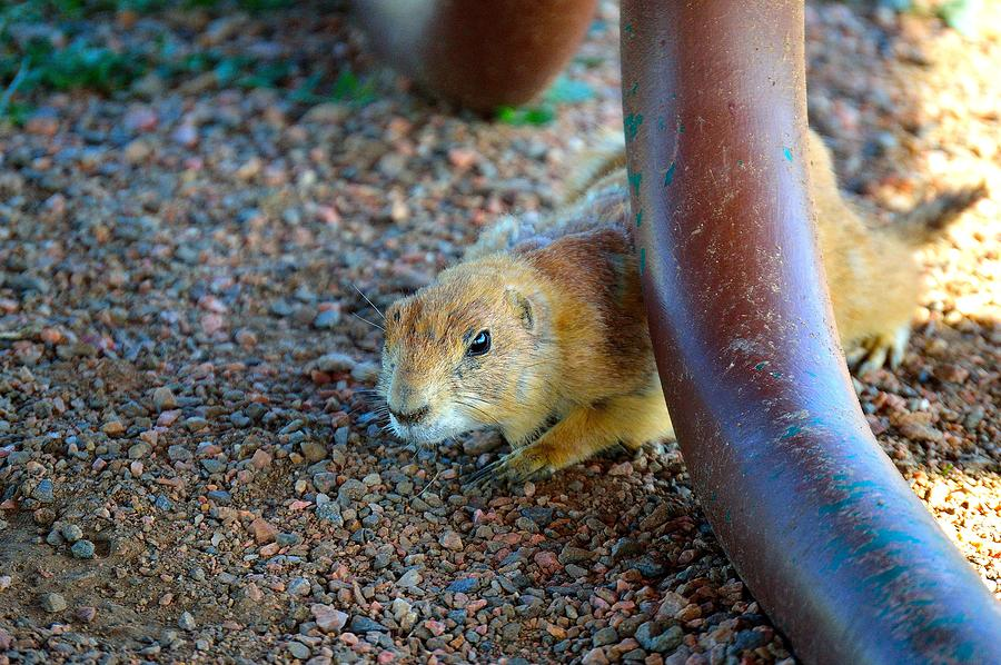 Prairie Dog Photograph - Investigation by Ray Franks