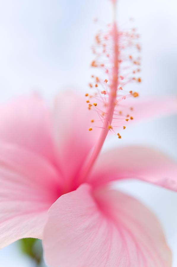 Hibiscus Photograph - Invitation Into The Light by Jenny Rainbow
