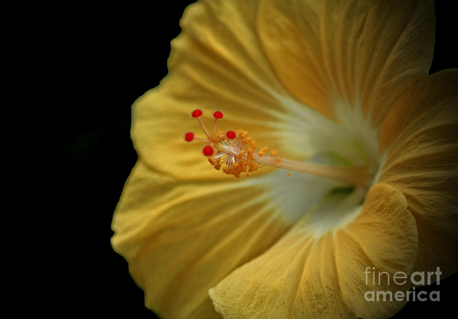 Hibiscus Flower Photograph - Invitation To Beauty Hibiscus Flower  by Inspired Nature Photography Fine Art Photography