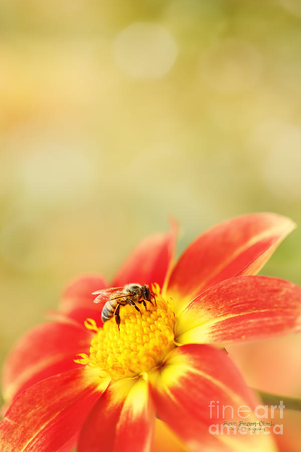 Dahlia Photograph - Inviting by Beve Brown-Clark Photography