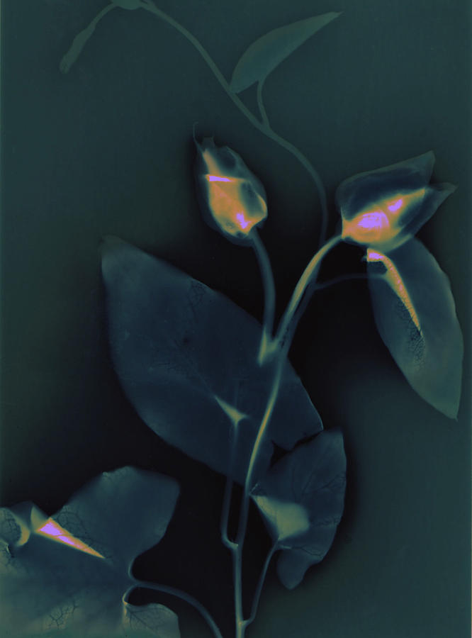 Art Photograph - Ipomena by Susan Leake
