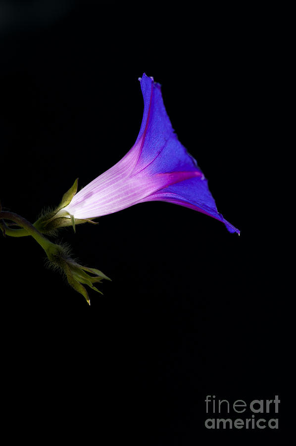 Ipomoea Photograph - Ipomoea Morning Glory by Tim Gainey