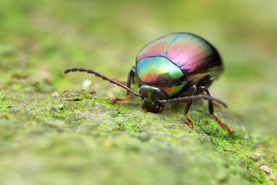 One Photograph - Iridescent Beetle by Melvyn Yeo/science Photo Library