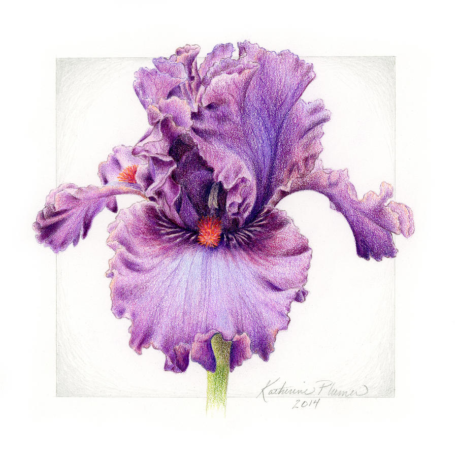 Iris 1 asian plum drawing by katherine plumer iris drawing iris 1 asian plum by katherine plumer izmirmasajfo