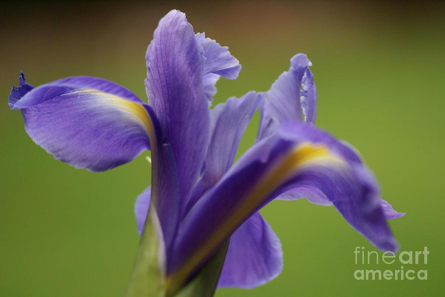 Purple Photograph - Iris 3 by Carol Lynch