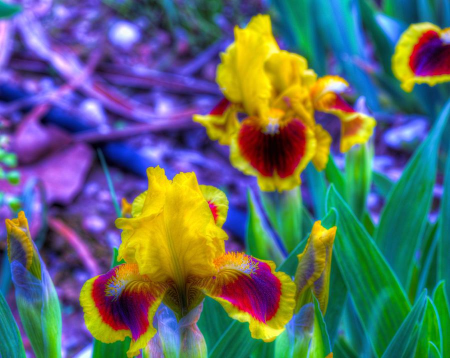 Flower Photograph - Iris #58 by John Derby