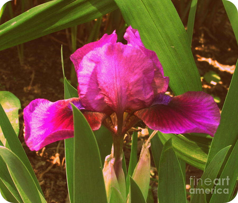 Iris Photograph - Iris by Christy Beal