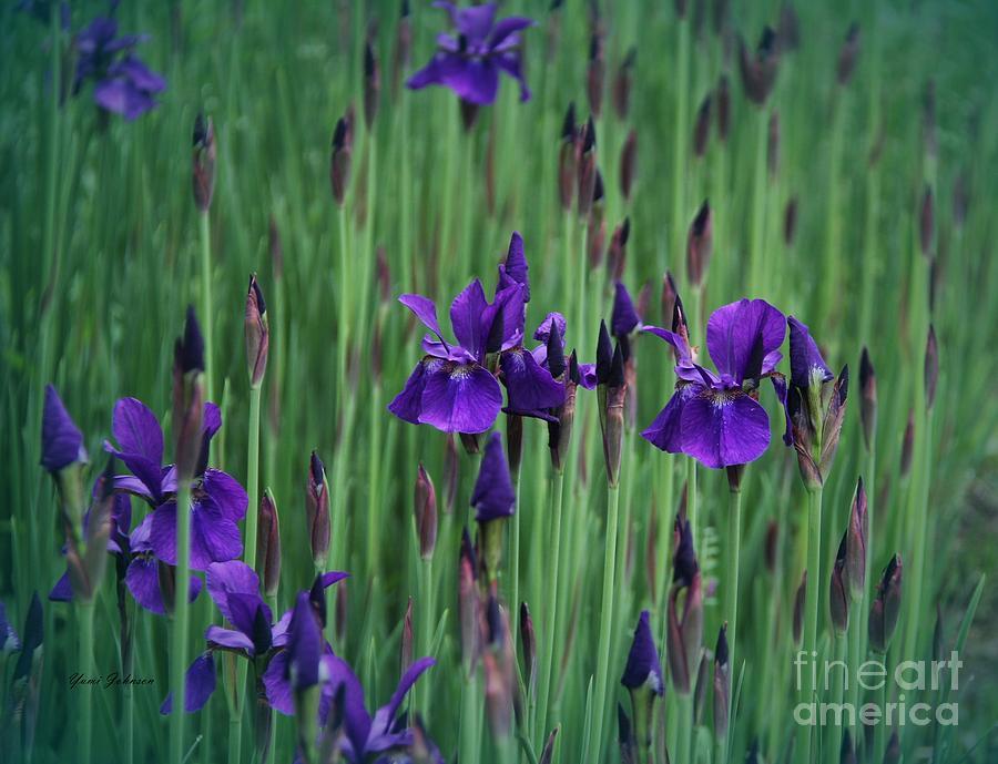 Iris Photograph - Iris Field by Yumi Johnson