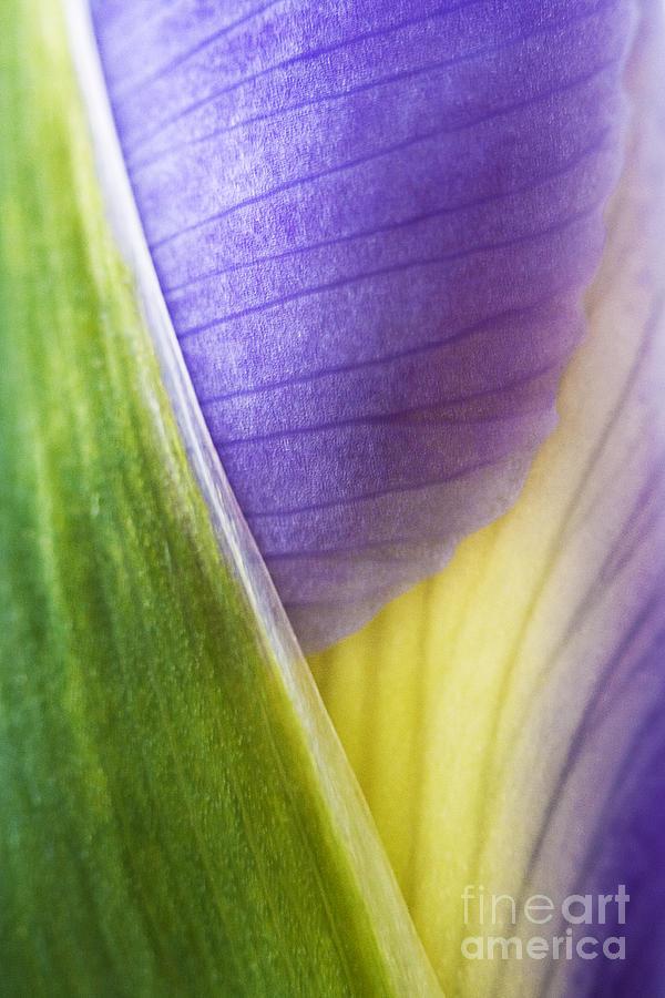 Iris Photograph - Iris Flower Close Up by Natalie Kinnear