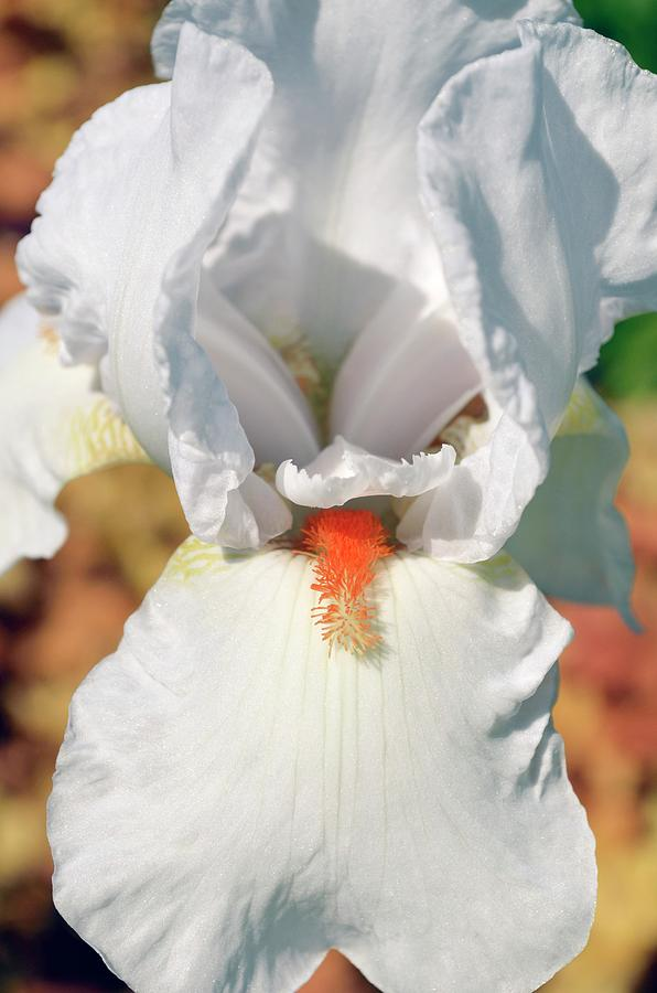 Iris Photograph - Iris frost And Flame by Jane Sugarman