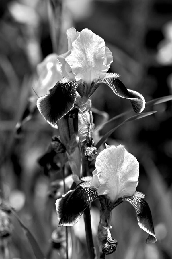 Iris Flower Photograph - Iris In Black And White by Karon Melillo DeVega