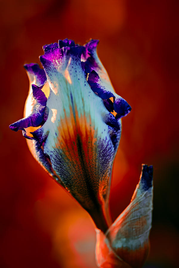 Iris Photograph - Iris In Red by Tomasz Dziubinski
