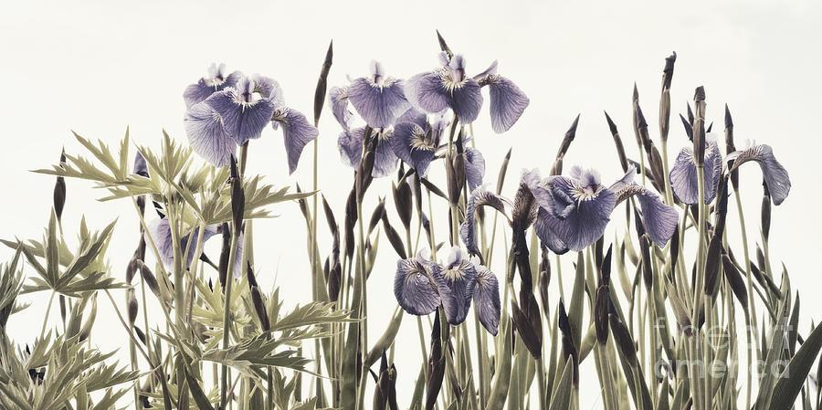 Iris Photograph - Iris In The Park by Priska Wettstein