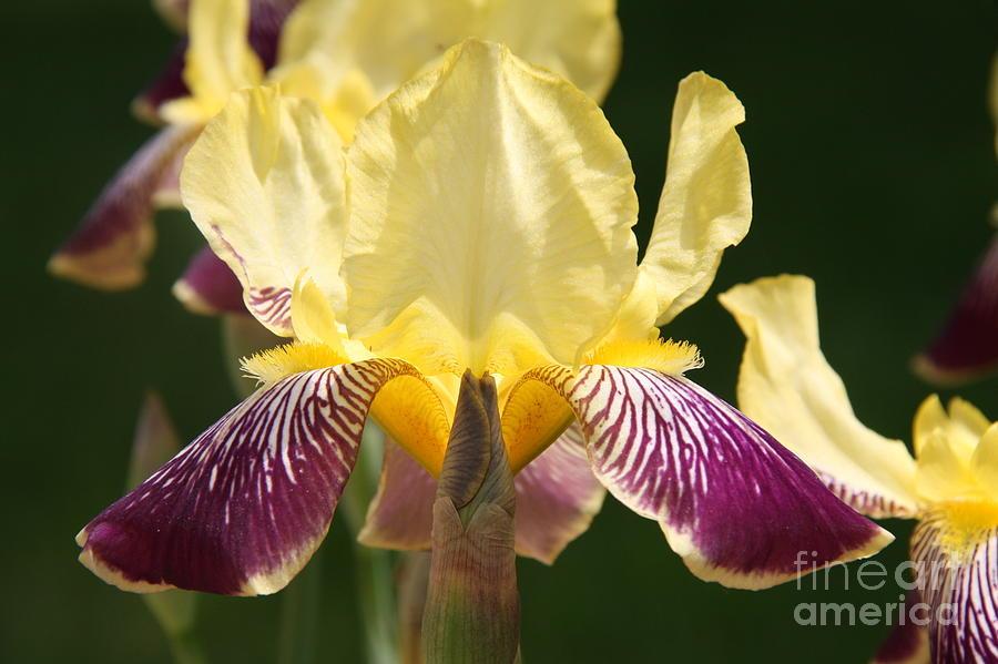 Iris Photograph - Iris by Jolanta Anna Karolska