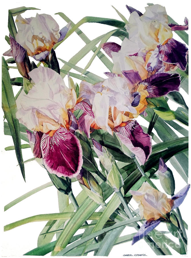 Watercolor of Tall Bearded Irises I call Iris Vivaldi Spring by Greta Corens