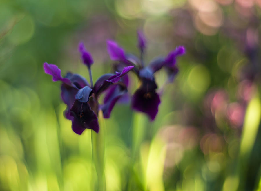 Flower Photograph - Irises Depth by Mike Reid