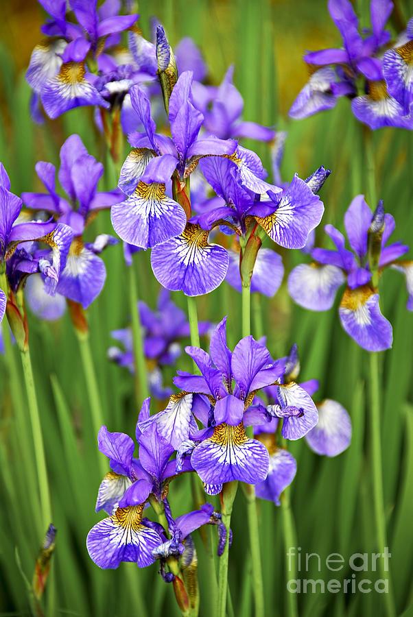 Iris Photograph - Irises by Elena Elisseeva