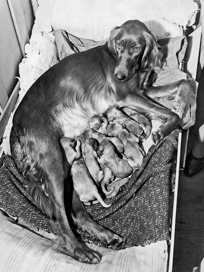 1944 Photograph - Irish Setter With 12 Puppies by Underwood Archives