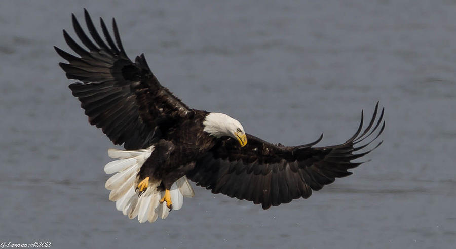 American Bald Eagles Photograph - Iron Eagle  by Glenn Lawrence