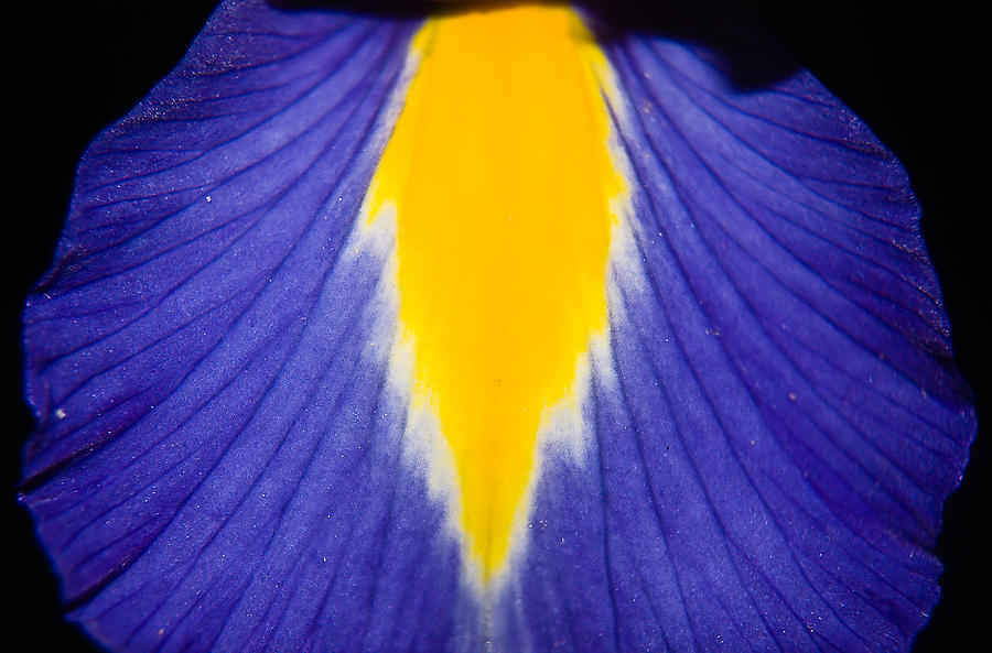 Iris Photograph - Irresistible Iris by Cara Moulds