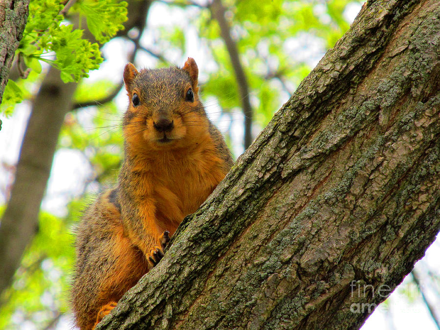 Squirrels Photograph - Is It Alright To Have Some Acorns ? by Tina M Wenger