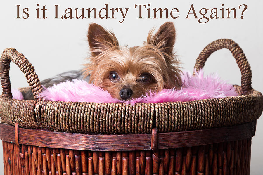 Yorkie Digital Art - Is It Laundry Time Again? by Purple Moon
