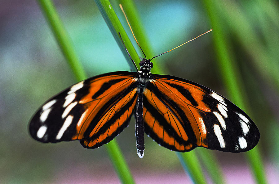 Butterfly Photograph - Ismenius Tiger Butterfly by Cheryl Cencich