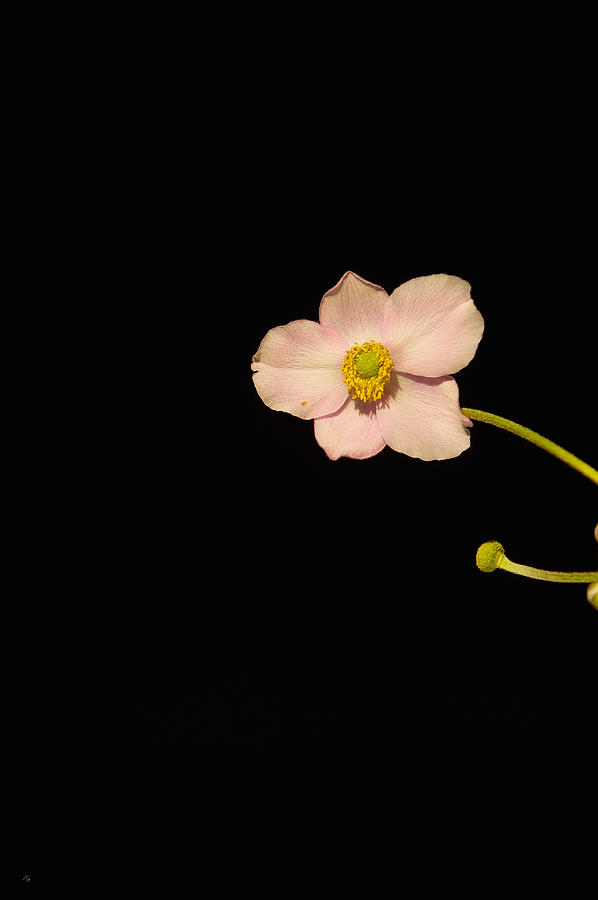 Isolated Photograph - Isolated Pink by Jim Tobin