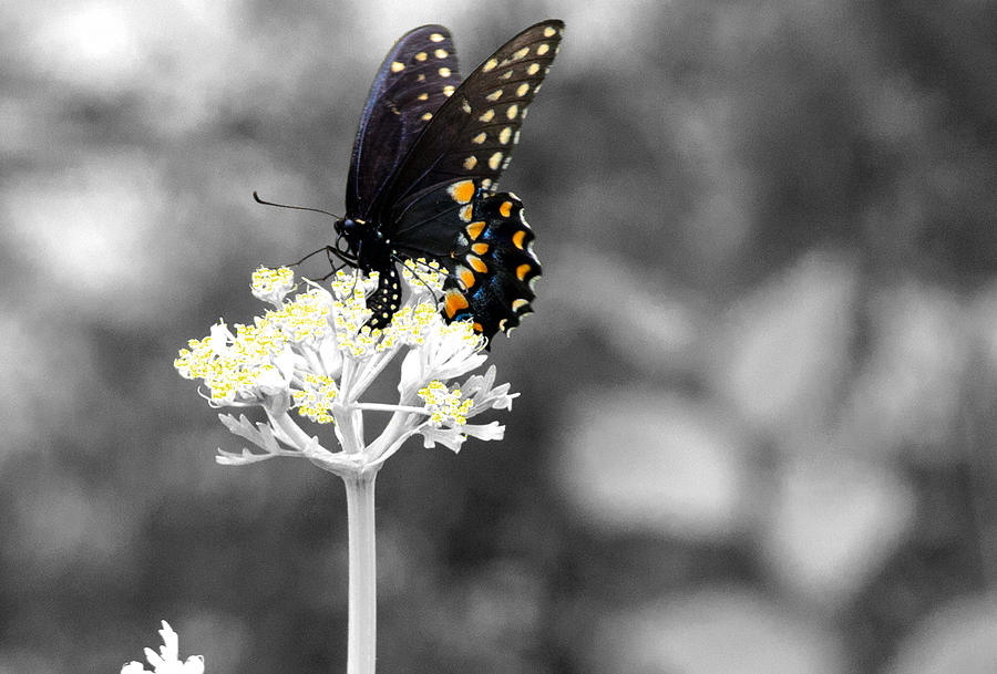 Swallowtail Photograph - Isolated Swallowtail Butterfly by Lorri Crossno
