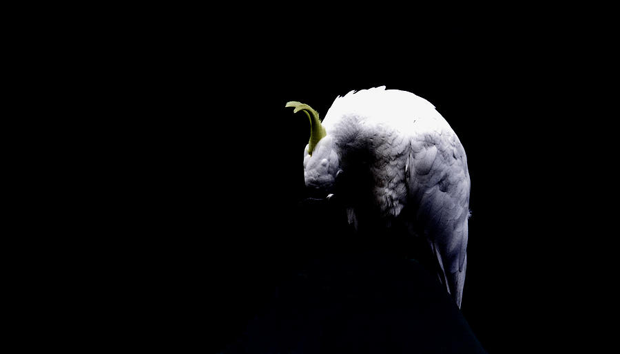 Cockatoo Photograph - Isolation by John Monteath