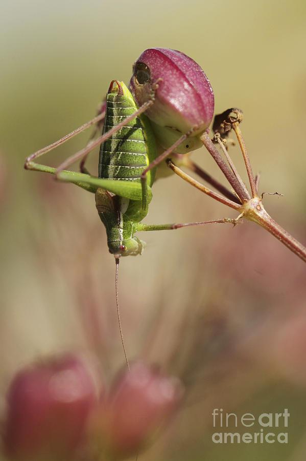 Crickets Photograph - Isophya Savignyi - Bush Cricket by Alon Meir