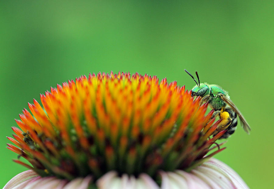 Sweat Bee Photograph - It Is A Hard Knock Life  by Juergen Roth