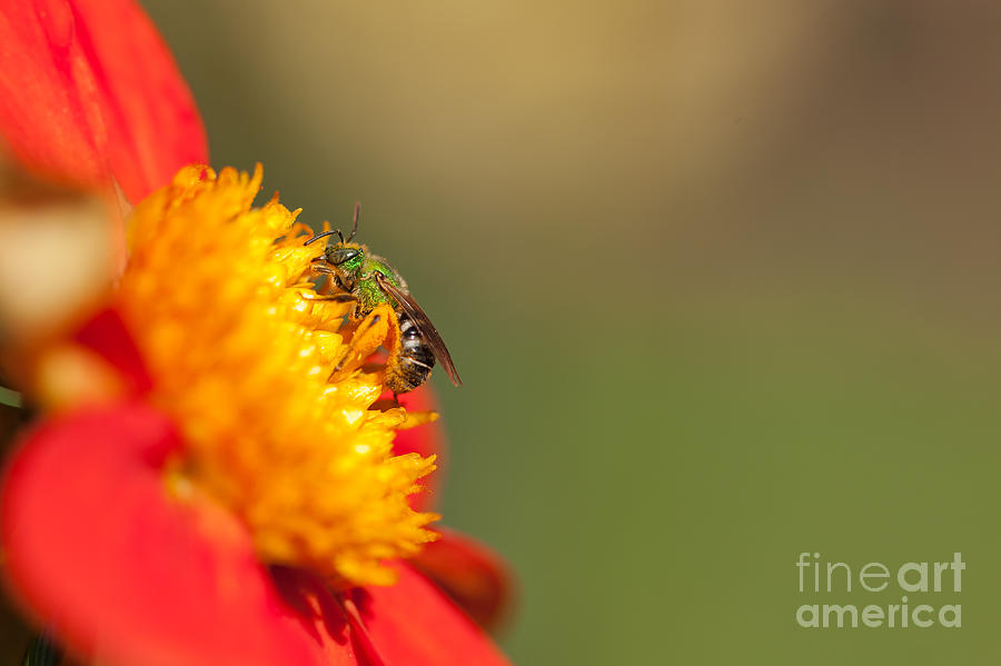 Dahlia Photograph - It Is All About The Buzz by Beve Brown-Clark Photography