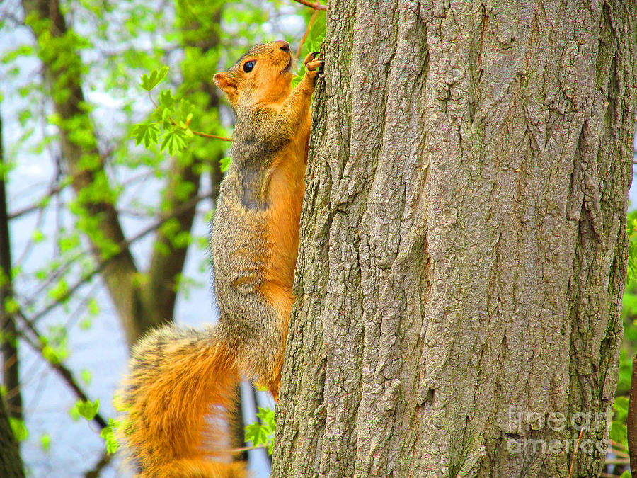 Squirrels Photograph - It Is Hard Work Getting To The Top by Tina M Wenger