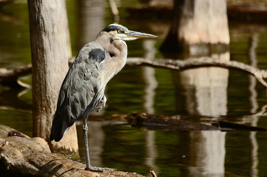 Great Blue Heron Photograph - It Pays To Practice Yoga by Lori Tambakis