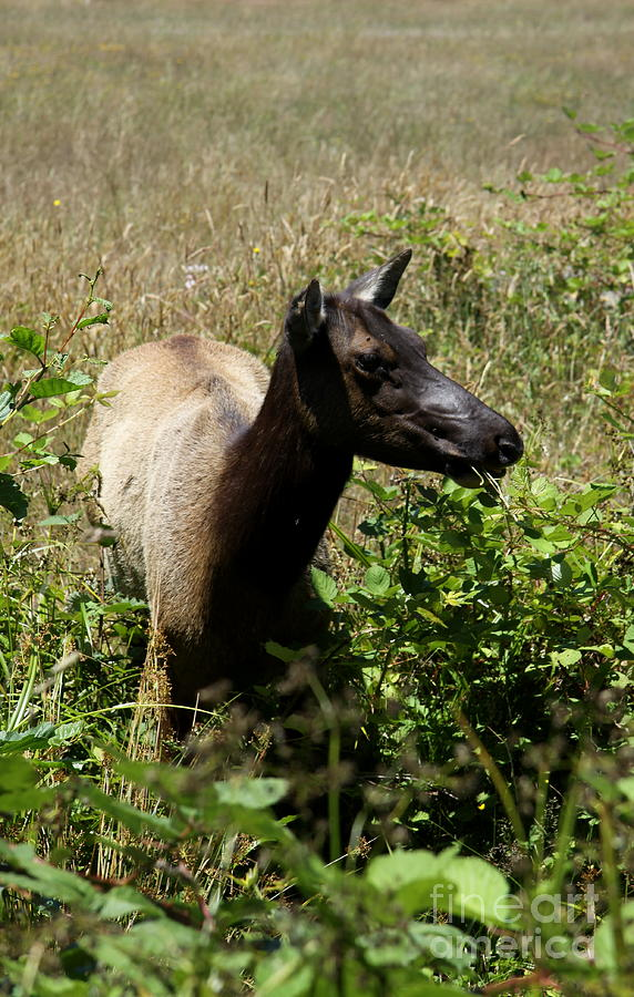 Elk Cow Photograph - It Tastes Nice  by Christiane Schulze Art And Photography
