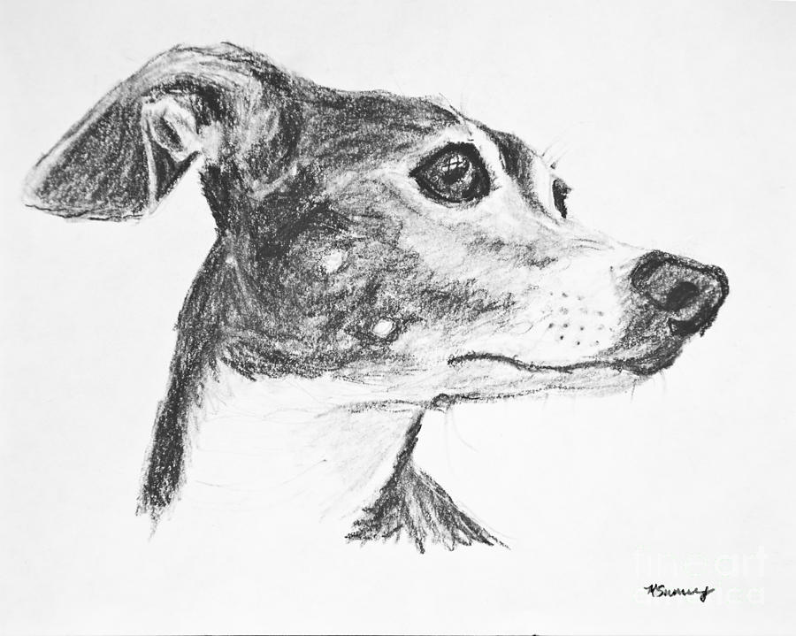 Italian Greyhound Drawing - Italian Greyhound Sketch In Profile by Kate Sumners