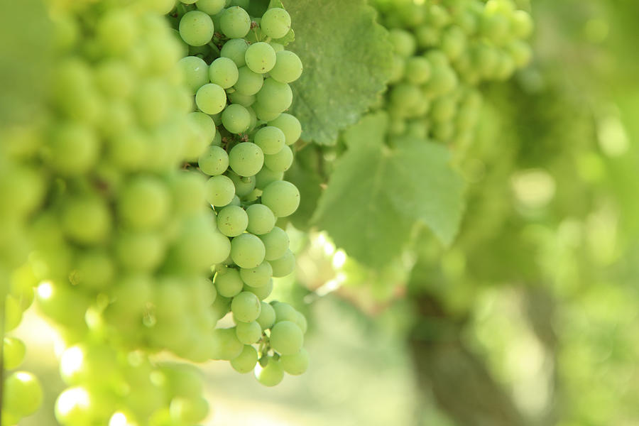 Italian Spumante White Grapes Photograph by Tostphoto