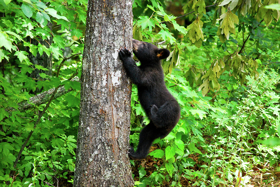 American Black Bear Photograph - Itchy Baby by Christi Kraft