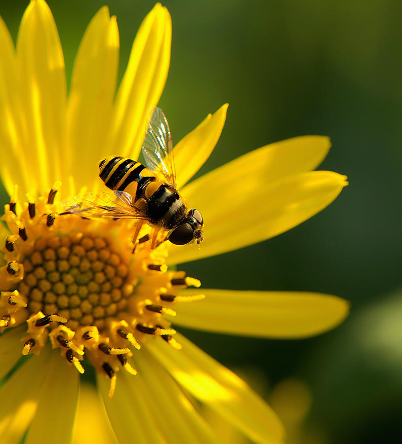 Blooms Photograph - Its A Bees Life IIi by Kathi Isserman