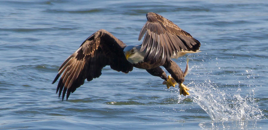American Bald Eagles Photograph - Its Just A Fish  by Glenn Lawrence